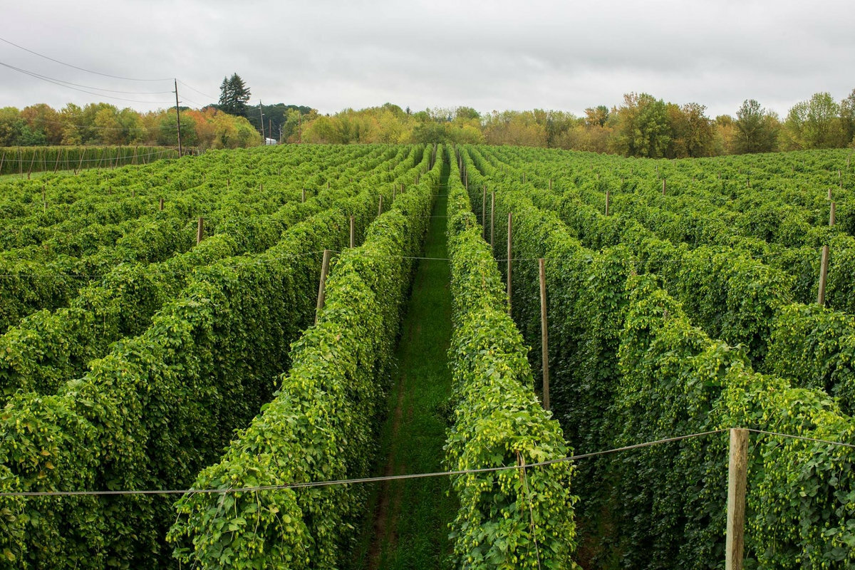 Crosby-Hop-Farm-hops-before-harvest